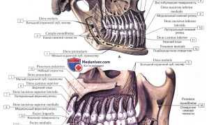 Зубы моляры: строение, функции и прорезывание